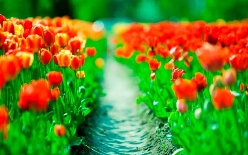 Тюльпаны - символ чистой и преданной любви по фэн-шуй