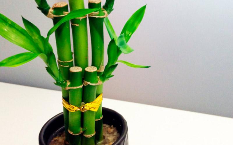 Бамбук по фен-шуй - талисман счастья