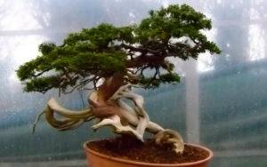 Деревья в китайской традиции фен-шуй