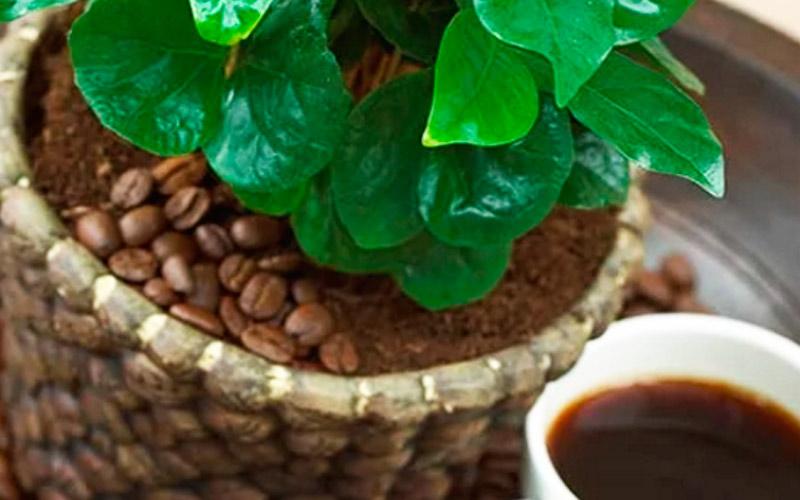 Кофейное дерево по фен шуй