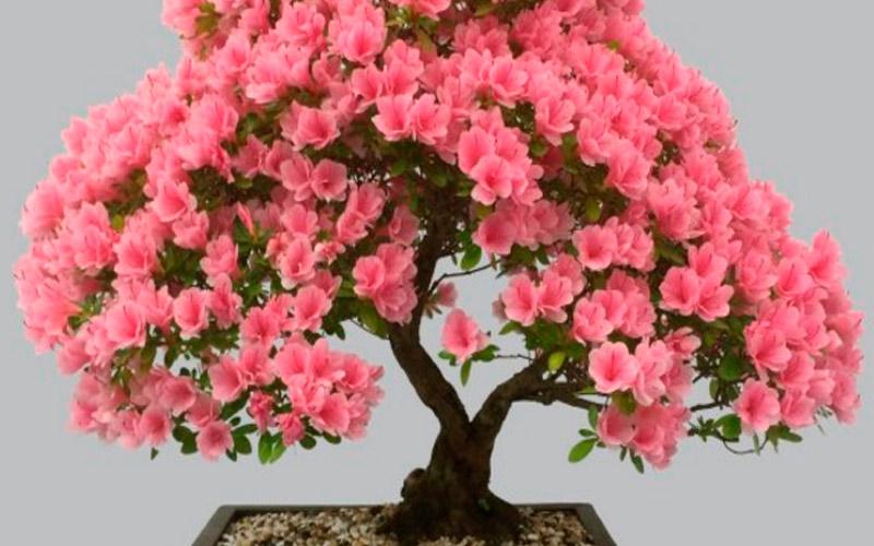 Миртовое дерево - семейное благополучие